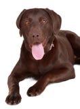 Brown labrador dog Royalty Free Stock Photo