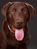 Brown labrador dog Stock Images