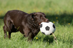 Brown labrador dog with ball Stock Image