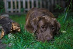 Brown labrador dog is lying on the green grass. Chocolate labrad Royalty Free Stock Photography