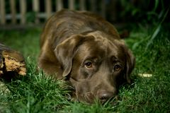 Brown labrador dog is lying on the green grass. Chocolate labrad. Or Royalty Free Stock Photo
