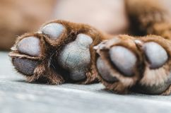 Brown labrador dog paws closeup shot. Brown labrador dog paws lying on the floor, blur backraound, out of focus. Detail of paws royalty free stock image
