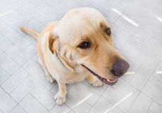 Brown Labrador dog, with tricky look, sitting and waiting . Brown Labrador dog, with tricky look, sitting and waiting for someone Royalty Free Stock Image