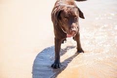 Brown Labrador enjoying the beach Stock Images