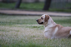 A Brown labrador in a grass field royalty free stock photography
