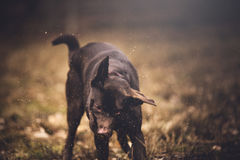 Brown labrador royalty free stock image