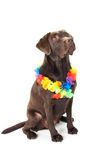 Brown labrador with hawaii lei Royalty Free Stock Photography