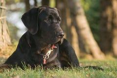 brown labrador headshot Royalty Free Stock Images