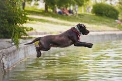 Brown labrador hoppar in i vattnet Royaltyfri Fotografi