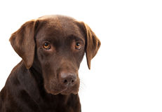 Brown labrador looking sad Royalty Free Stock Images