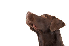 Brown labrador looking up Royalty Free Stock Images