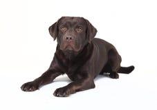 Brown labrador lying Royalty Free Stock Photos