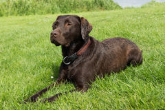 Brown labrador lying down in grass Royalty Free Stock Photos