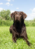 Brown labrador lying down in grass Stock Images