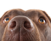 Brown labrador nose close-up Stock Images
