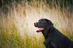 Brown labrador portrait