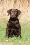 Brown labrador pup in the grass. Chocolate brown labrador pup in the grass Royalty Free Stock Image