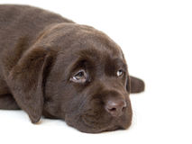 Brown Labrador puppy Stock Photo