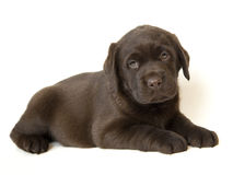 Brown Labrador puppy Royalty Free Stock Photo