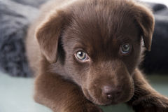 Brown labrador puppy Royalty Free Stock Photography