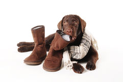 Brown labrador puppy chewing on  boots with a scarf on a white b Stock Photos