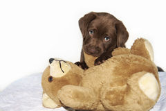 Brown labrador Puppy chewing brown teddy bear royalty free stock image