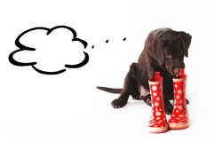 Brown labrador puppy chewing on rubber boots on a white Stock Photo