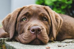 Brown labrador puppy dog lying. On the ground, looking into in on camera, eyes, close-up shot of head royalty free stock photos