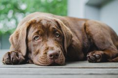 Brown labrador puppy dog lying and looking at camera. On wood floor with gray and green bacround, contrast shot, titled head stock images