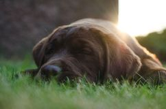 Brown labrador puppy dog lying royalty free stock photo