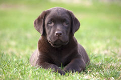 Brown labrador puppy Stock Images