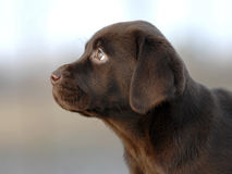 Brown Labrador puppy head Royalty Free Stock Photos