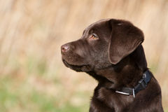 Brown labrador puppy Stock Photos