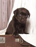 Brown Labrador puppy Stock Photo