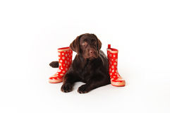 Brown labrador puppy wearing a scarf and boots on a white ba Royalty Free Stock Images
