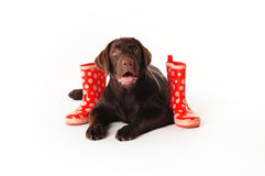 Brown labrador puppy wearing a scarf and red boots on a white ba Stock Photography
