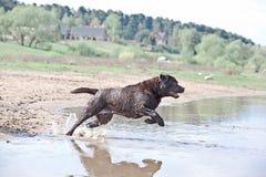 Brown Labrador que salta en el agua Fotos de archivo libres de regalías