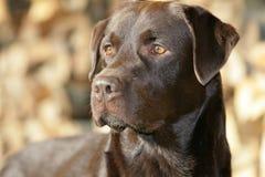Brown Labrador retriever stock image