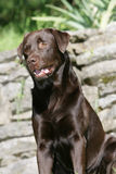 Brown Labrador retriever Stock Images
