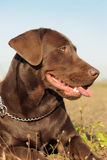 Brown labrador retriever Royalty Free Stock Photo