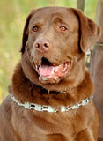Brown labrador retriever Photographie stock libre de droits