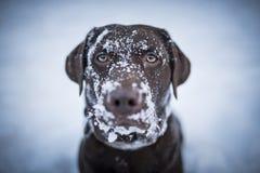 Brown labrador retriever che sembra divertente con neve da ogni parte del suo fronte Immagine Stock Libera da Diritti