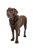 Brown Labrador Retriever dog Royalty Free Stock Photo
