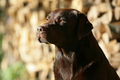 Brown Labrador retriever dog Royalty Free Stock Images