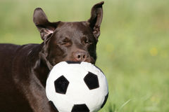 Brown Labrador retriever dog with ball Royalty Free Stock Photo
