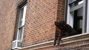 Brown labrador retriever dog relaxing at window Royalty Free Stock Image