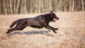 Brown labrador retriever dog running on a field Stock Photo