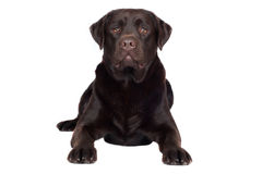 Brown labrador retriever dog Stock Image