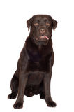 Brown labrador retriever dog Stock Photo