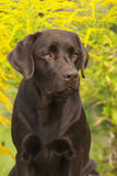 Brown Labrador Retriever Female Royalty Free Stock Photos